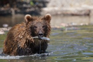 Photograph of a brown bear with a fish in its mouth at Kurilskoye Lake in Kamchatka, Russia.