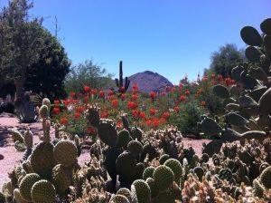Photograph of flowering cacti in Arizona.