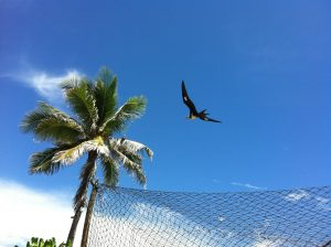 Photograph of a frigate bird, gliding near a palm tree at the island of Nauru in the Pacific Realm.