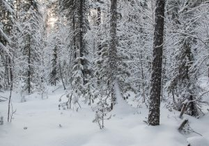 Photograph of winter forest in Russia.