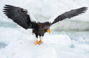 Photography of Stellar's eagle on a block of ice in Kamchatka, Russia.
