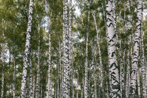 Photograph of Siberian birch forest at Prokopyevsk, Russia.