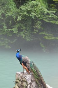 Photo of a peacock by Abkhazian lake in the country Georgia.