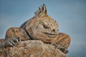 Photograph of large lizard on a rock.